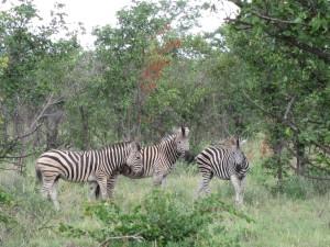 Da Zebras